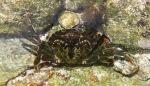 Krab (ca. 16 cm)